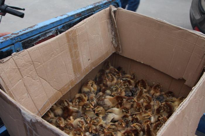 为困难群众送苗鸡